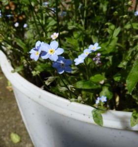 Forget-me-nots in a bucket