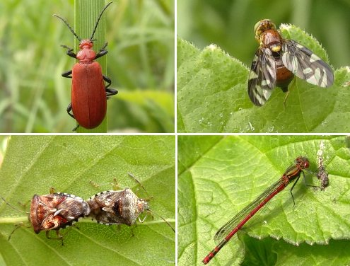 Clockwise from top left: Cardinal Beetle, Picture-winged Fly, Large Red Damselfly, Parent Bugs, mating