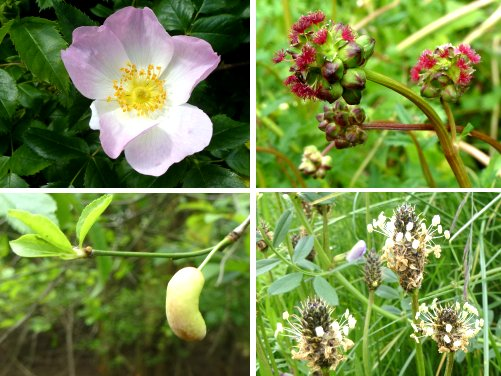 Clockwise from top left: Dog Rose, Salad Burnet, Ribwort Plantain, Pocket Plum