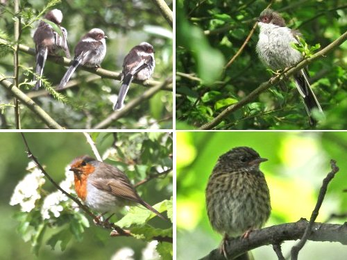 Clockwise from top left: juvenile Long-tailed Tits (2 photos), juvenile Dunnock, adult Robin