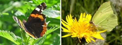 Butterflies: Red Admiral (left) Brimstone (right)