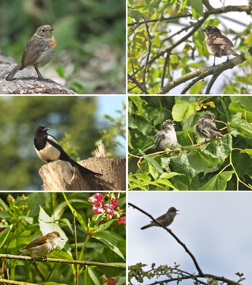 Clockwise from top left: Juvenile Robin, Juvenile Dunnock, two young Long-tailed Tits, Singing Whitethroat, Blackcap (female or juvenile.. we're not sure which!) Magpie in the Playground.