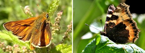 Butterflies: (left) Large Skipper (right) Red Admiral