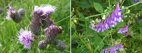 Left: Creeping Thistle. Right: Tufted Vetch