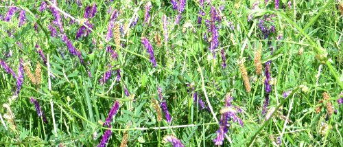 A magnificent display of Tufted Vetch