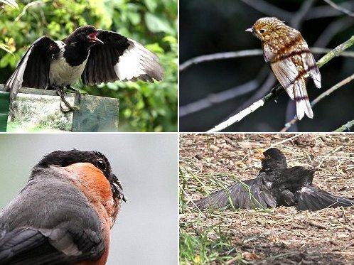 Clockwise from top left: Young Magpie begging for food, Juvenile Robin, Blackbird sunbathing, Male Bullfinch