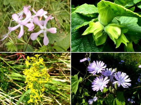 Clockwise from top left: Soapwort, Hazelnuts, Blue Sow Thistle, Lady's Bedstraw