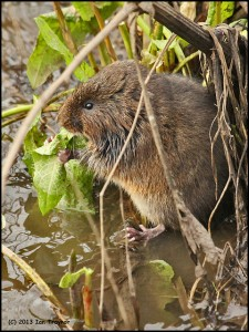 Water vole (photo by Ian Traynor)