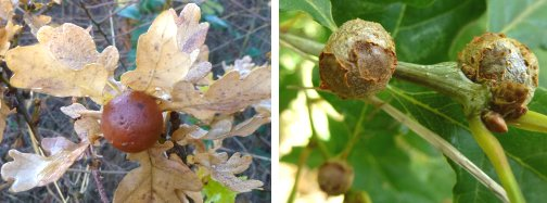 (left) Marble Gall (right) Cola Nut Gall
