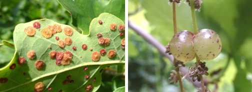 (left) Spangle Galls (right) Currant Gall