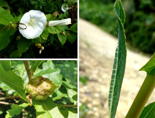 Clockwise from top left: Hedge Bindweed; Prickly Lettuce; Artichoke Gall