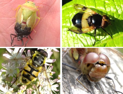 Clockwise from top left: Gorse Shieldbug nymph shedding skin; Hoverfly: Volucella pellucens; Common Darter dragonfly, close up; 'Batman' hoverfly