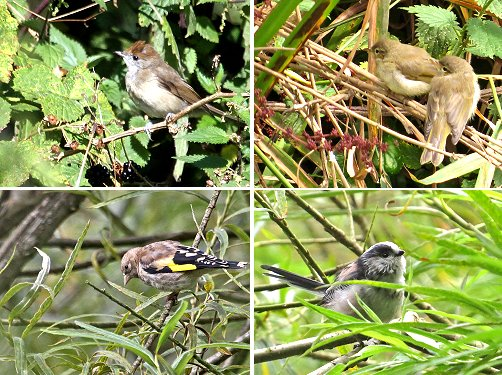 Juvenile birds at St Nicks August 2014. Clockwise from top left: Blackcap; two Chiffchaffs; Long-tailed Tit; Goldfinch