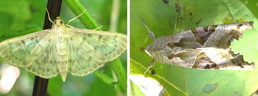 Moths: left: Mother-of-Pearl; right, Angle Shades