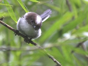 Juvenile Long-tailed Tit at the Kingfisher Culvert - featured on BBC's Springwatch!