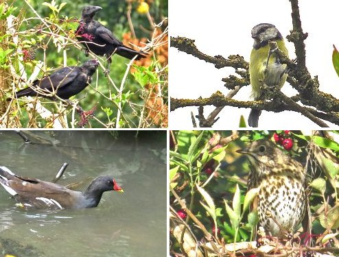 Clockwise from top left: Carrion Crows feeding on Elderberries; Blue Tit; Song Thrush; Moorhen on Osbaldwick Beck