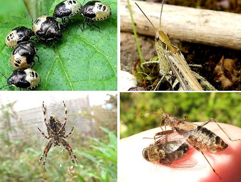 Clockwise from top left: Woundwort Shieldbug nymphs; Common Field Grasshopper; Tree Damsel Bug consuming a Cluster Fly; Garden Spider