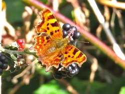Comma butterfly feeding on Blackberries