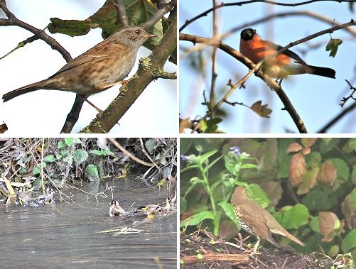 Clockwise from top left: Dunnock; Bullfinch (male); Song Thrush; Goldfinches, bathing in Osbaldwick Beck