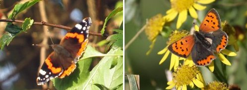 Left: Red Admiral, near the Environment Centre; Right: Small Copper on Ragwort.