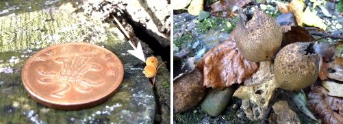 Left: Unidentified small fungus; Right: possible Earthball fungus
