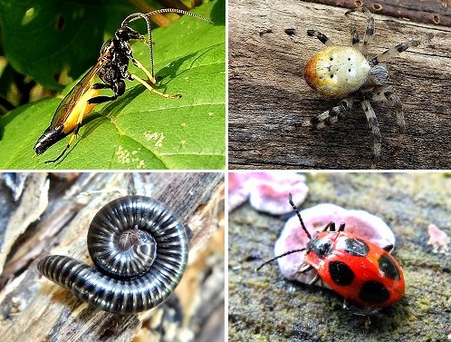 Clockwise from top left: Ichneumon Wasp - Amblyteles armatorius; Common Cross Spider; False Ladybird; Millipede - Tachypodoiulus niger