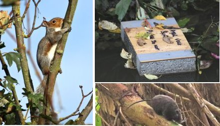 Left: Grey Squirrel, sunbathing! Top right: Water Vole raft; Bottom right: Fake Rat!!