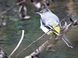 Juvenile Grey Wagtail in Osbaldwick Beck