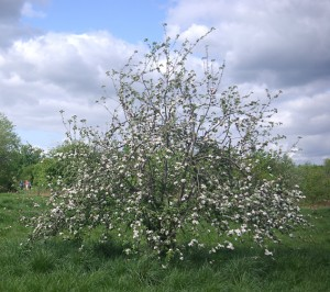 One of the many apple trees on St Nicks grown from discarded pips