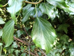 Upper Ivy leaves