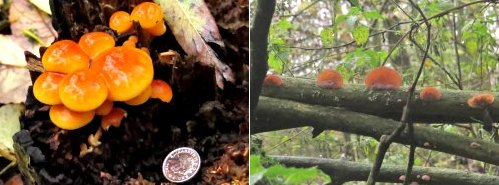 Left: Un-ID'd fungus, Tang Hall Beck Path; Right: Jelly-ear Fungus, Tang Hall Beck Path