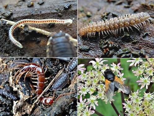 Clockwise, from top left: Red-spotted Millipede, Flat-backed Millipede, Noon Fly, Centipede