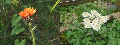 Left: Fox & Cubs; right: Hogweed