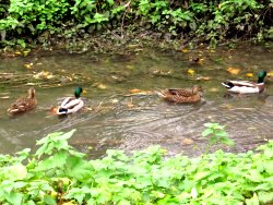 Two of the four pairs of Mallards on Osbaldwick Beck