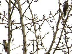 Distant shot of two Great Spotted Woodpeckers.. from the Bund Path.