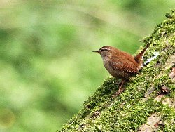 Look at the cocked tail on this Wren!