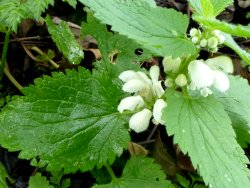 White Dead-nettle flower