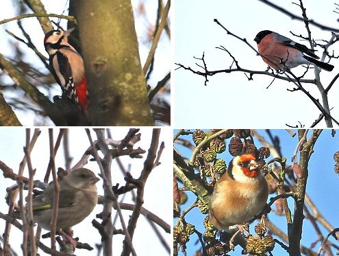 Clockwise from top left: female Great Spotted Woodpecker, Bullfinch, Goldfinch feeding on Alder, Greenfinch