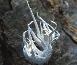 Possible Candlesnuff fungus