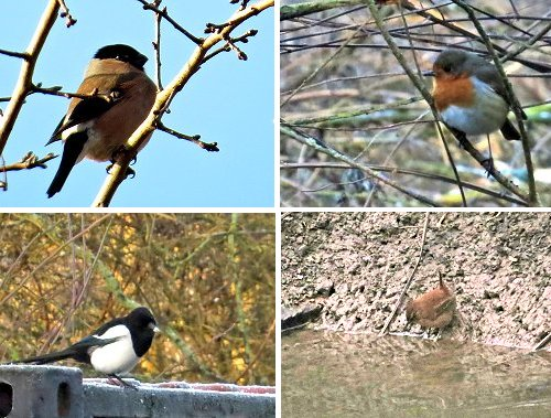 Clockwise from top left: Female Bullfinch; Robin; Wren, drinking out of Tang Hall Beck, Magpie