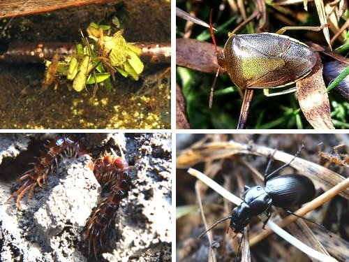 Clockwise from top left: Caddis Fly larva; Gorse Shieldbug; Ground Beetle; Common Centipedes