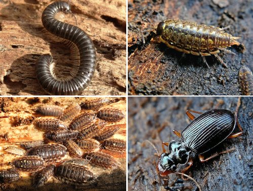 Clockwise from top left: White-legged Snake Millipede; Common Striped Woodlouse; Ground Beetle; Common Shiny Woodlice