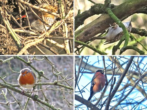 Clockwise from top left: Water Rail; Tree Creeper; Bullfinch; Robin