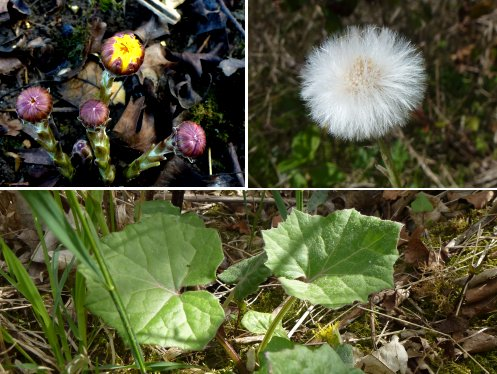 Top left: Coltsfoot buds; Top right: Coltsfoot seed head; Bottom: Coltsfoot leaves
