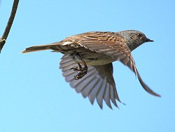 Dunnock in flight