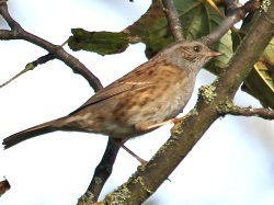 Dunnock - showing the thin beak and the orange legs