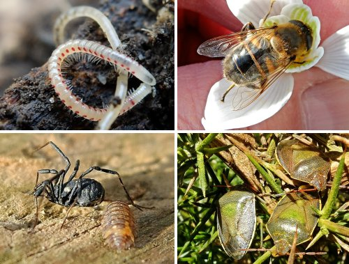 Clockwise from top left: Red-spotted Snake Millipede; Hoverfly-Eristalis-tenax; Gorse Shield Bugs; Harvestman