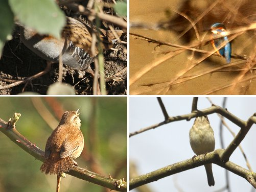 Top left, clockwise: (part of a!) Water Rail; distant view of male Kingfisher; singing Chiffchaff (most of it!); singing Wren