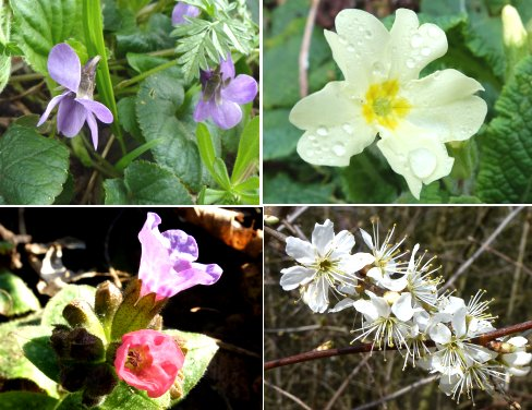 Clockwise from top left: Violets, Primrose, Blackthorn, Lungwort