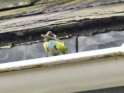 Blue Tit rescuing its mate